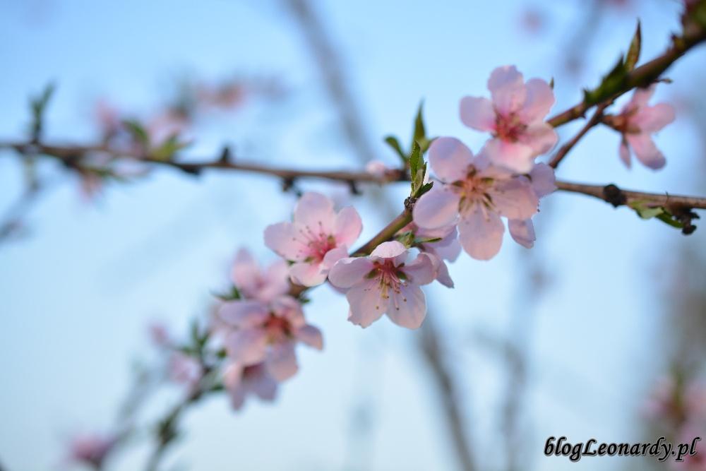 tydzień w ogrodzie -nektaryna 1