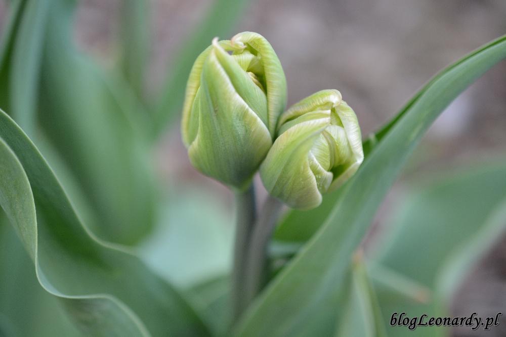 tydzień w ogrodzie -podwojny biały tulipan