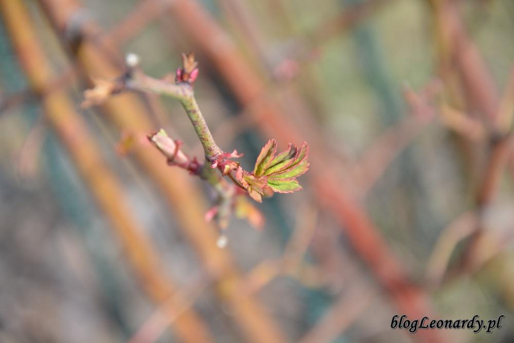 tydzień w ogrodzie - róża