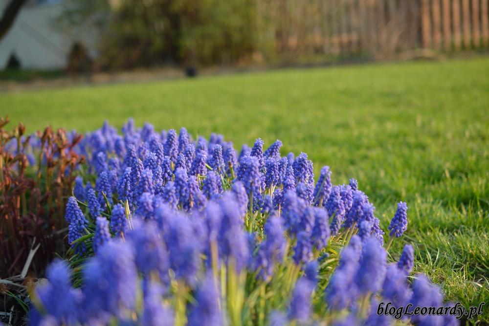 kwiecień w ogrodzie -szafirki 1