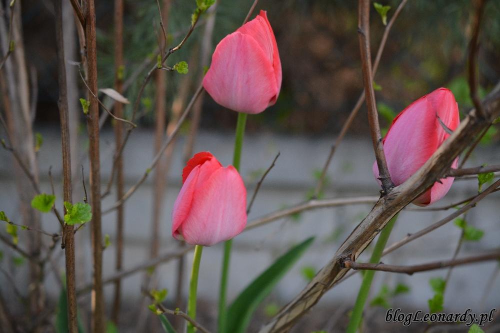 tydzień w ogrodzie -tulipany czerwone