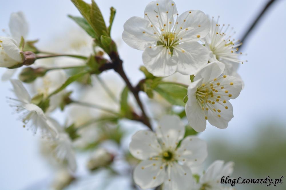 tydzień w ogrodzie -wiśnia