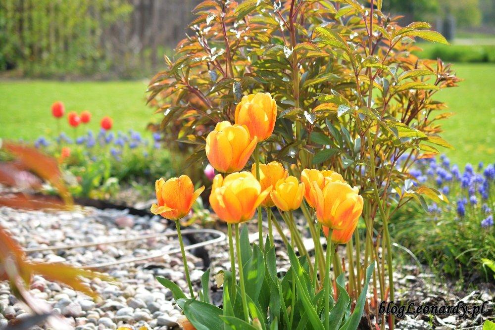 Kwiecień w ogrodzie -żółte tulipany (2)
