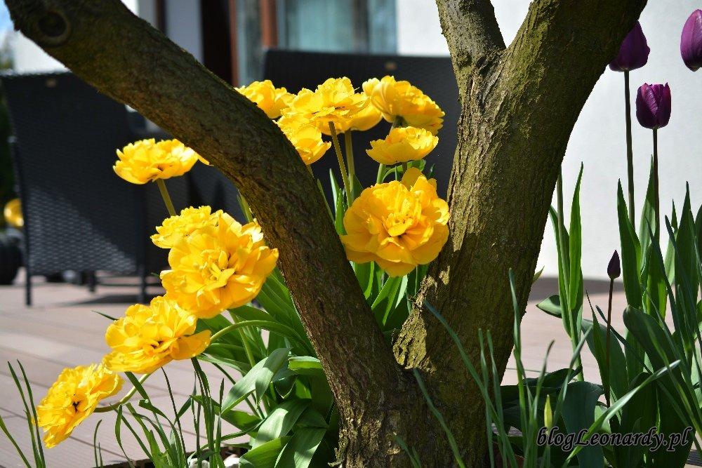 Kwiecień w ogrodzie -żółte tulipany 3