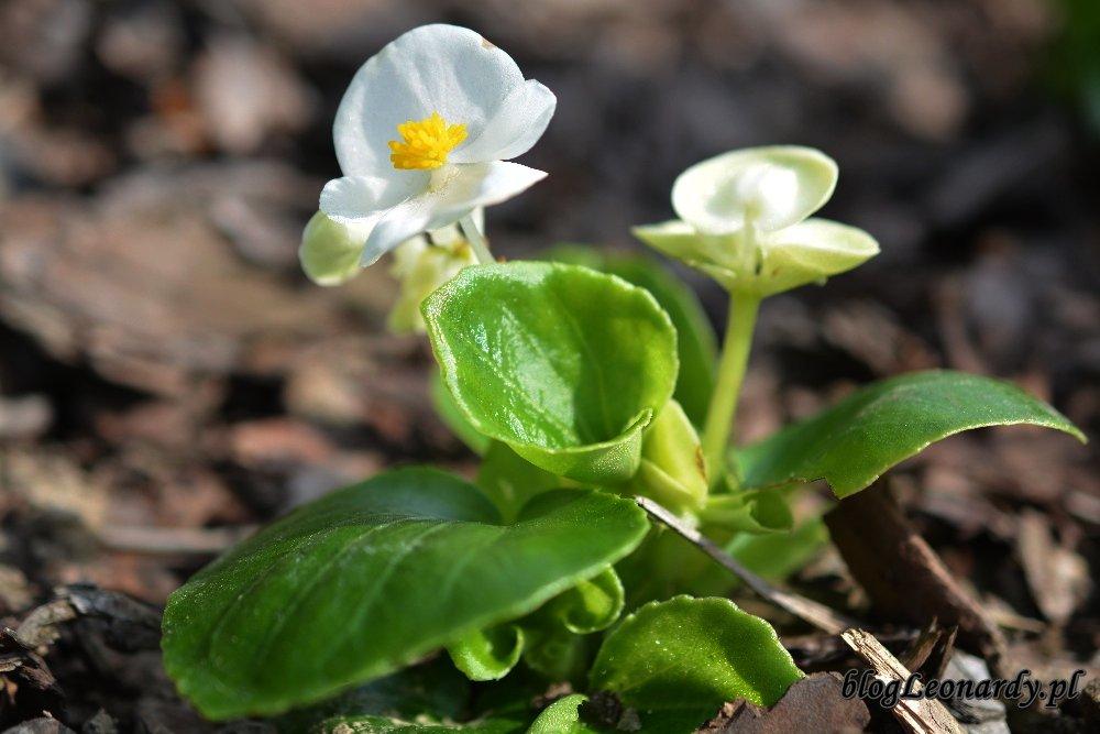Kwiecień w ogrodzie -begonia