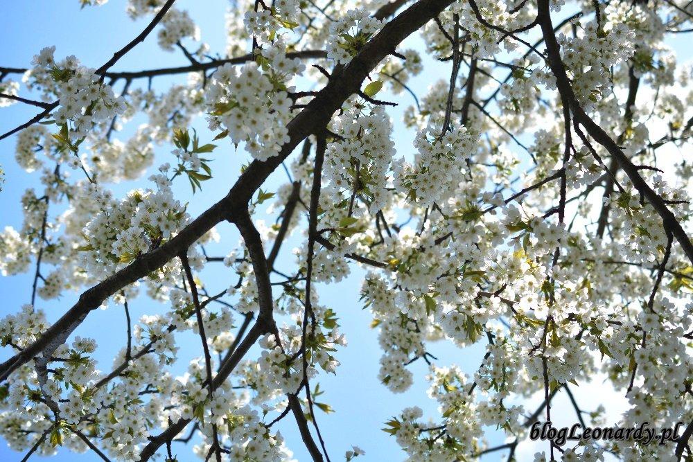 Kwiecień w ogrodzie -czereśnia