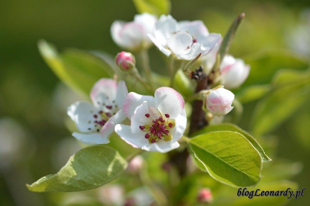 Kwiecień w ogrodzie -grusza