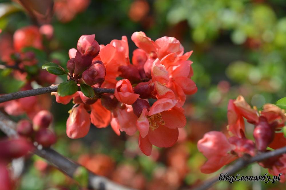 Kwiecień w ogrodzie -kwiaty pigwowca (3)