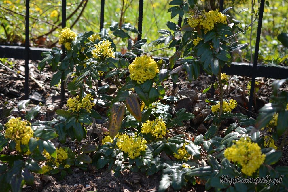 Kwiecień w ogrodzie -mahonia (2)