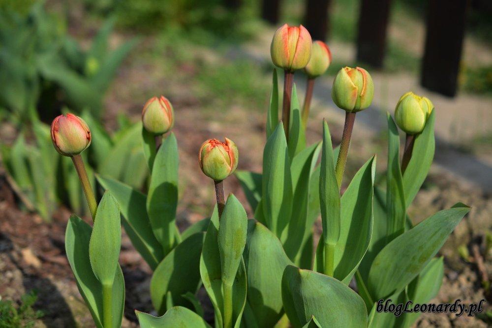 Kwiecień w ogrodzie -tulipany (2)