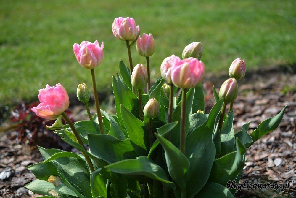 Kwiecień w ogrodzie -tulipany biało - różowe