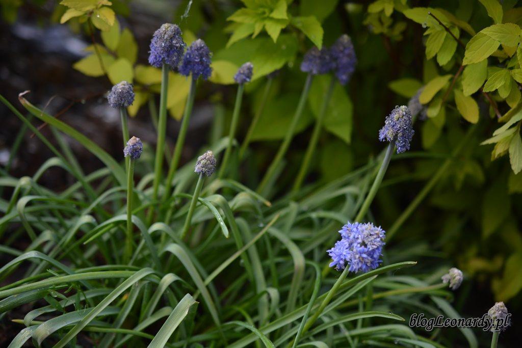 majowy ogród -DSC_0030