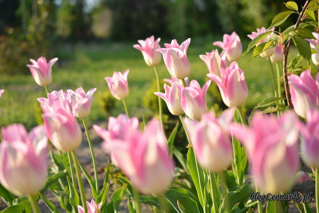 majowy ogród -DSC_0042