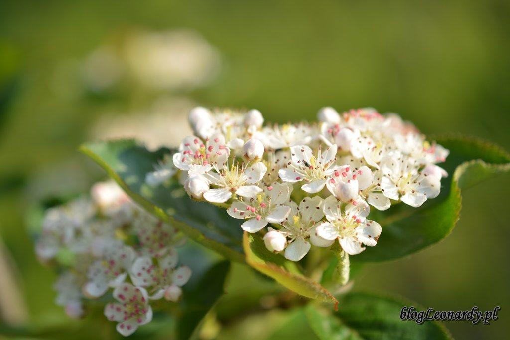 majowy ogród -DSC_0049
