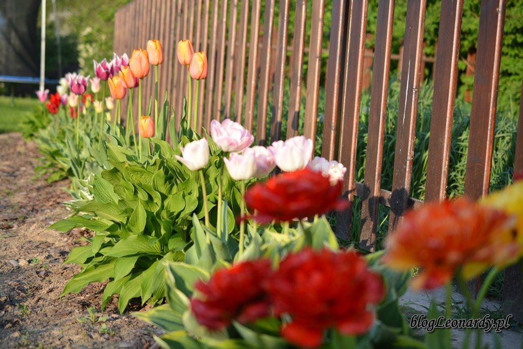 majowy ogród -DSC_0105