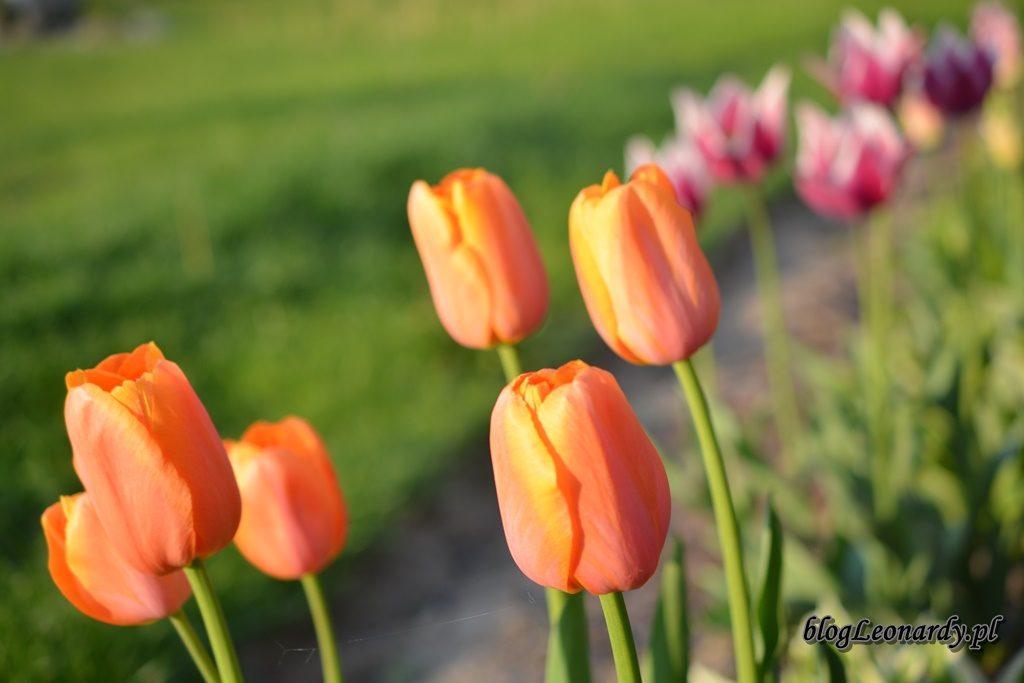 majowy ogród -DSC_0112