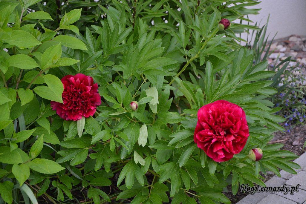 majowy ogród -DSC_0164