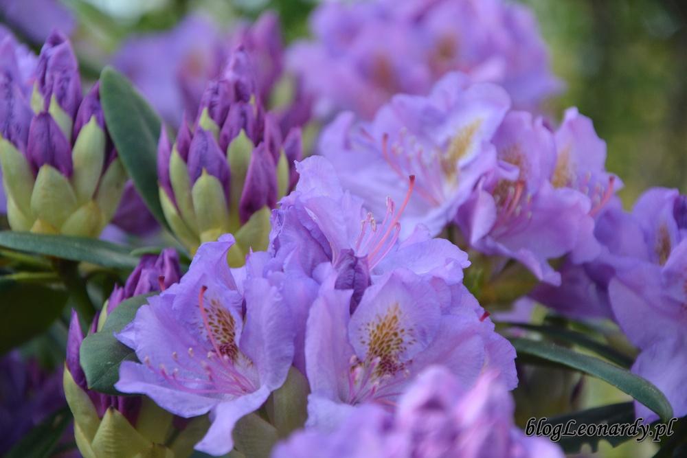 rododendron grandiflorum catawbiense