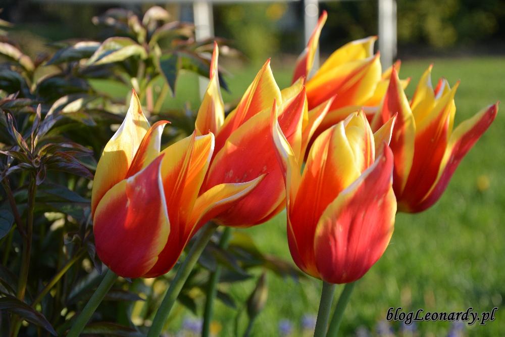 tulipanyballade dream tulipany