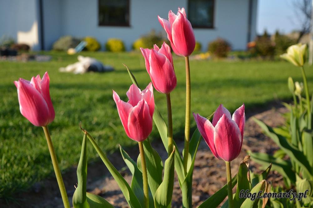 tulipanyclaudia