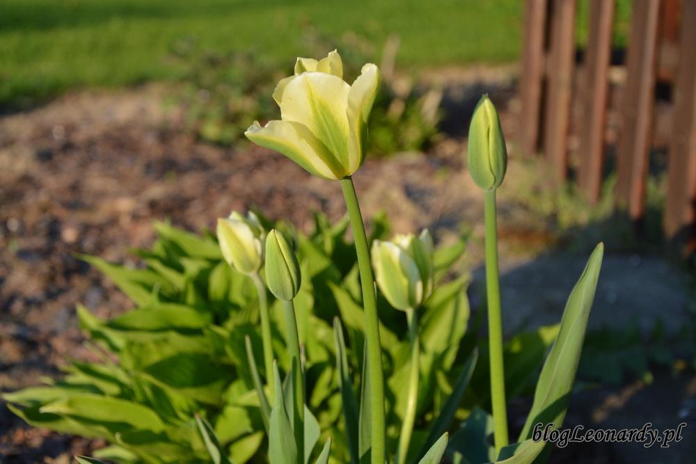 tulipanyspring green