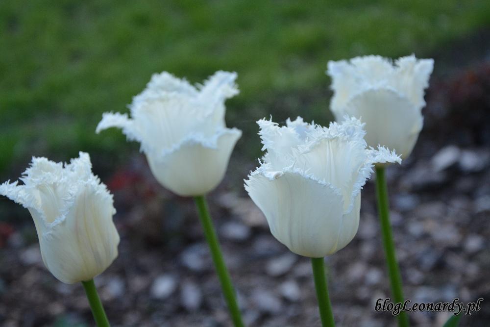 tulipany strzępiaste swan wings