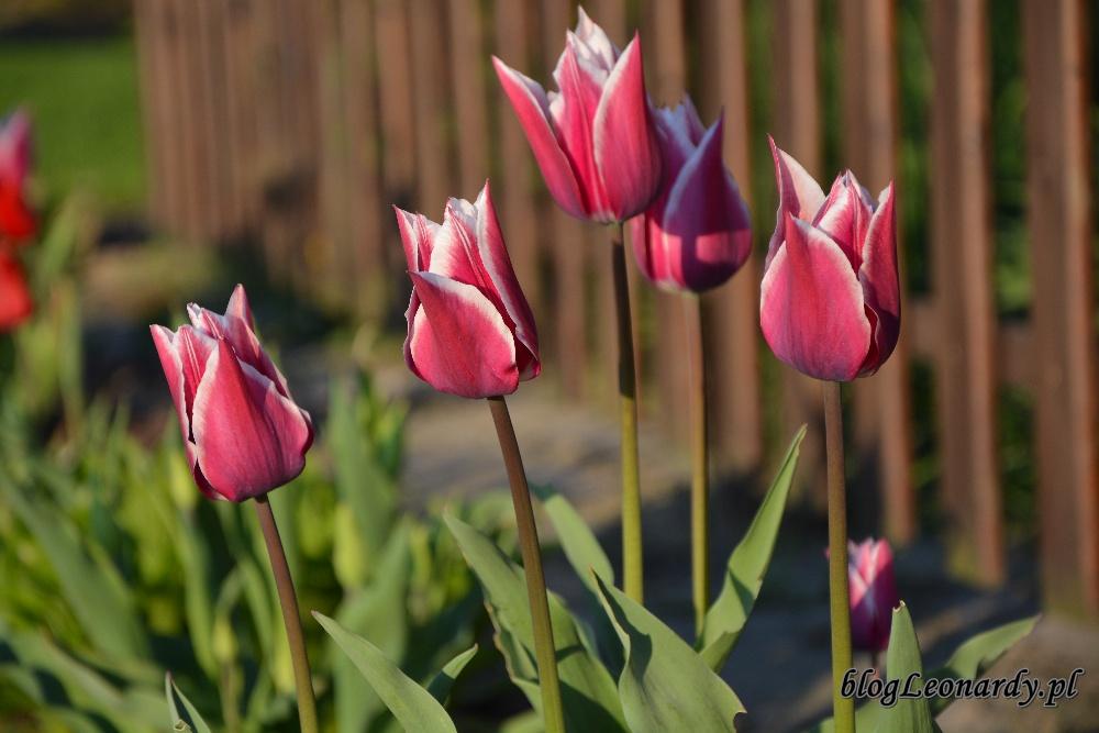 tulipanytulipan claudia