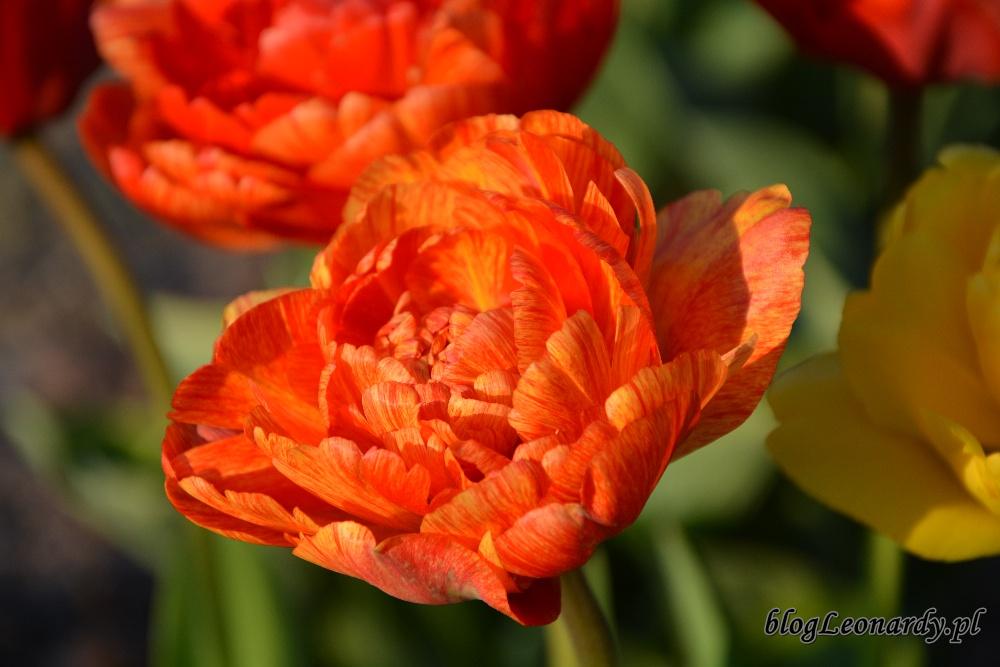 tulipanytulipan pełny