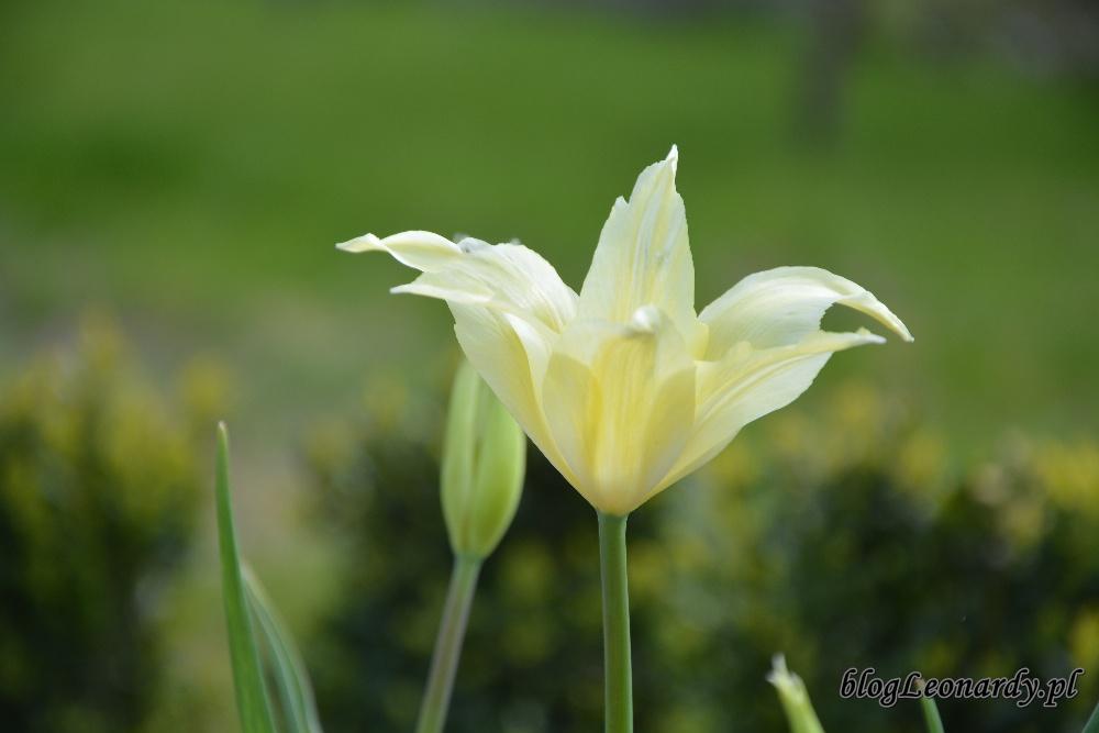 tulipanytulipan sapporo