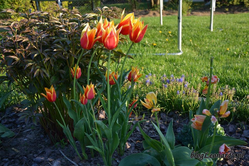 tulipanytulipany ballade dream