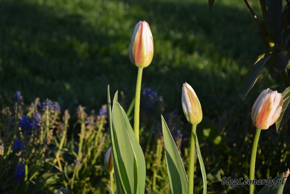 tulipanytulipany biało - czerwone