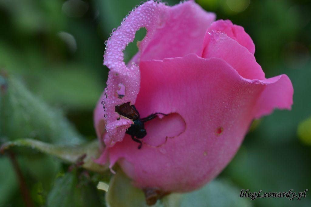 koniec maja w ogrodzie - śniadanie chrząszcza