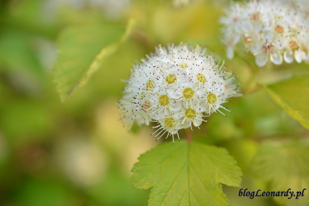 koniec maja w ogrodzie - kwiat pęcherznicy