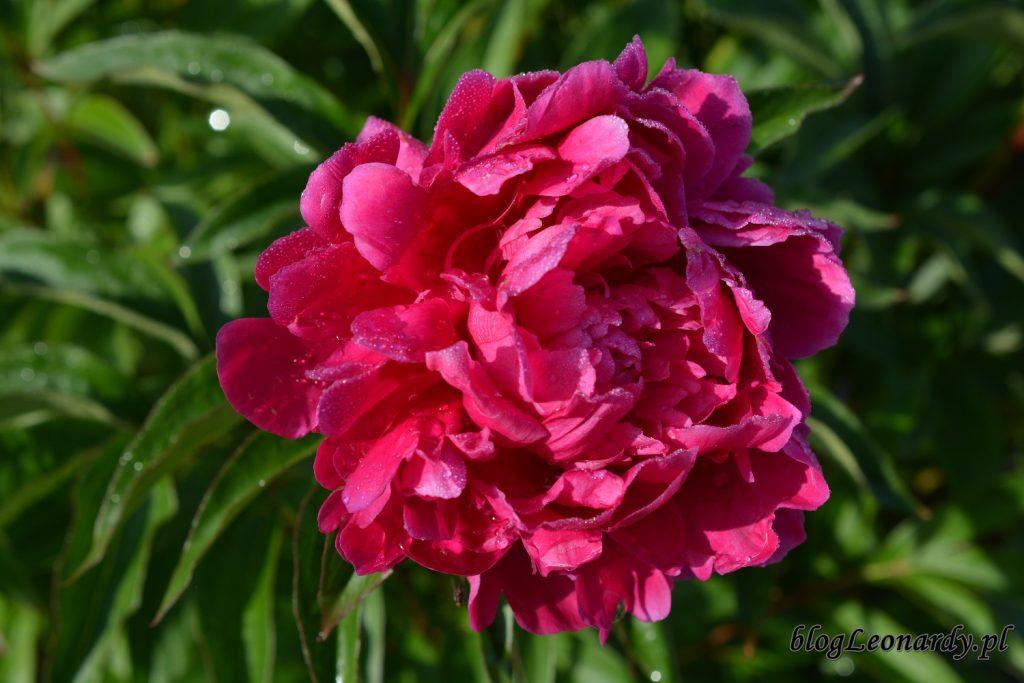 koniec maja w ogrodzie - piwonia (2)