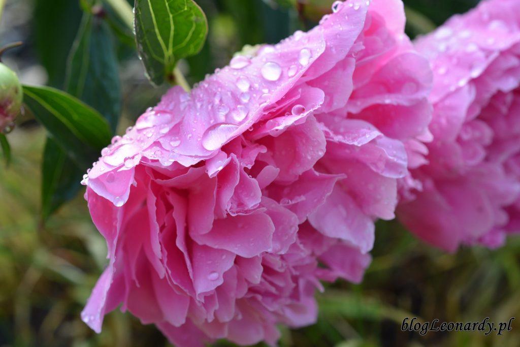 koniec maja w ogrodzie - piwonia po deszczu