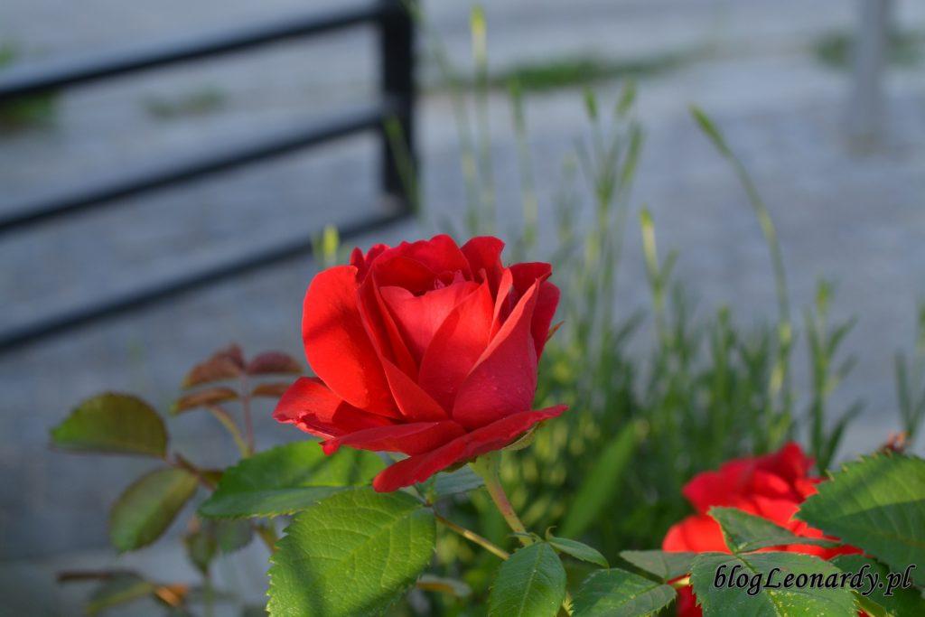 koniec maja w ogrodzie - róża czerwona