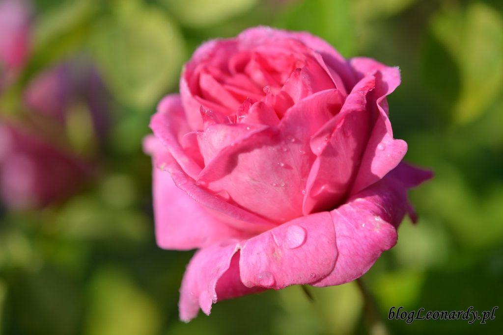 koniec maja w ogrodzie - róża mary rose