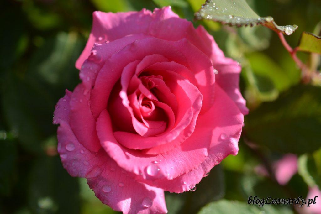 koniec maja w ogrodzie - róża zephirine drouhin