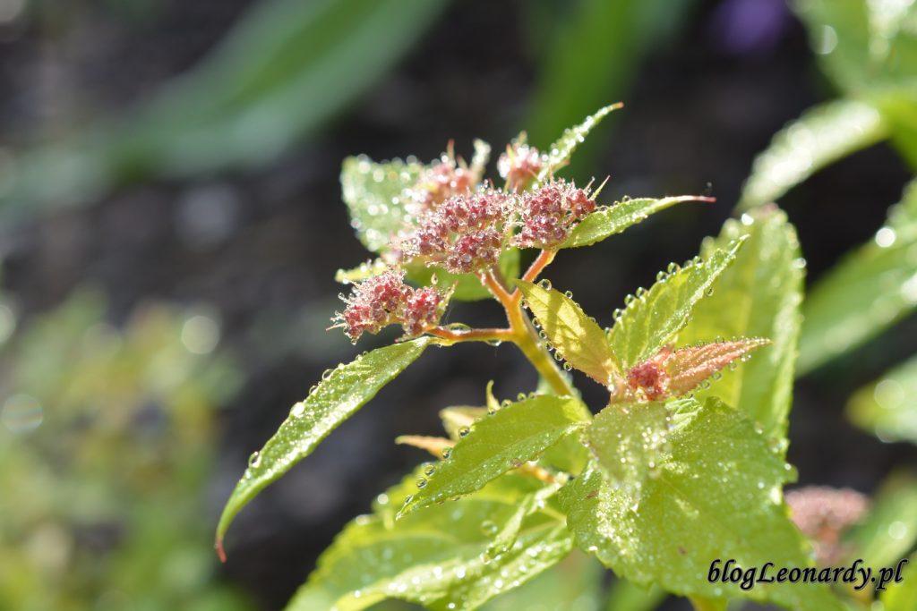 koniec maja w ogrodzie - tawuła w deszczu (2)