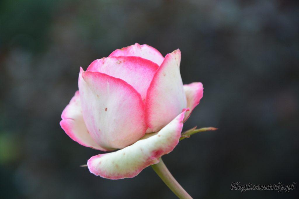 lato w ogrodzie - eden rose 85