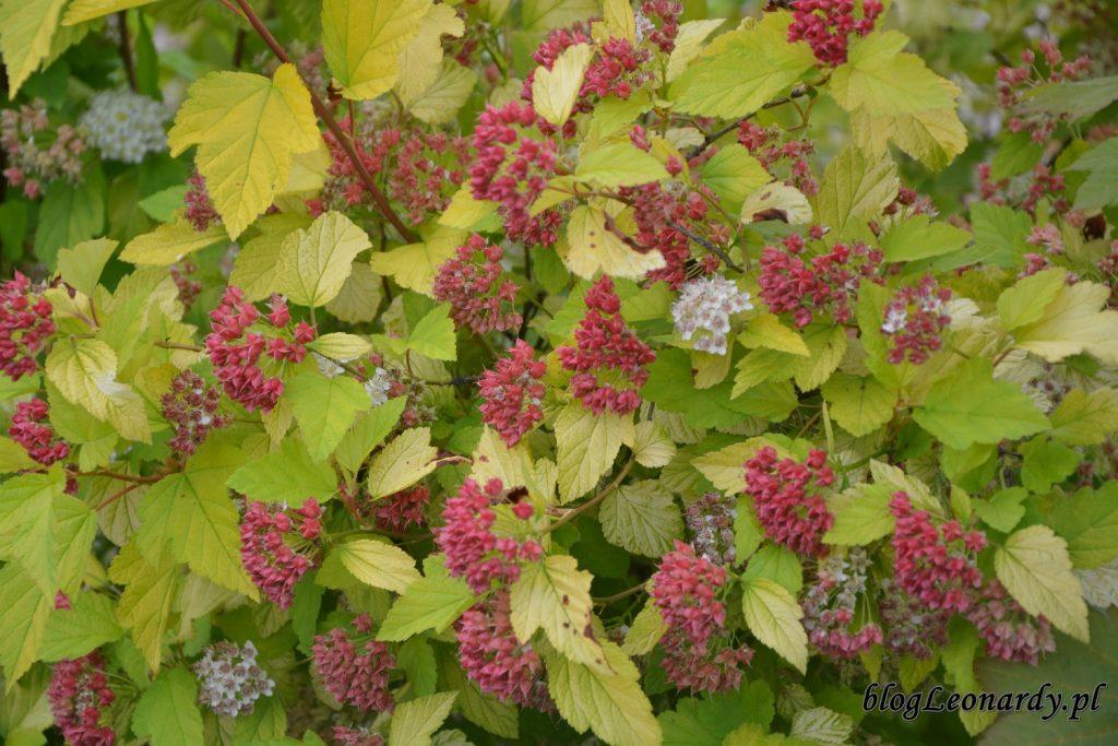 lato w ogrodzie - owocw pęcherznicy