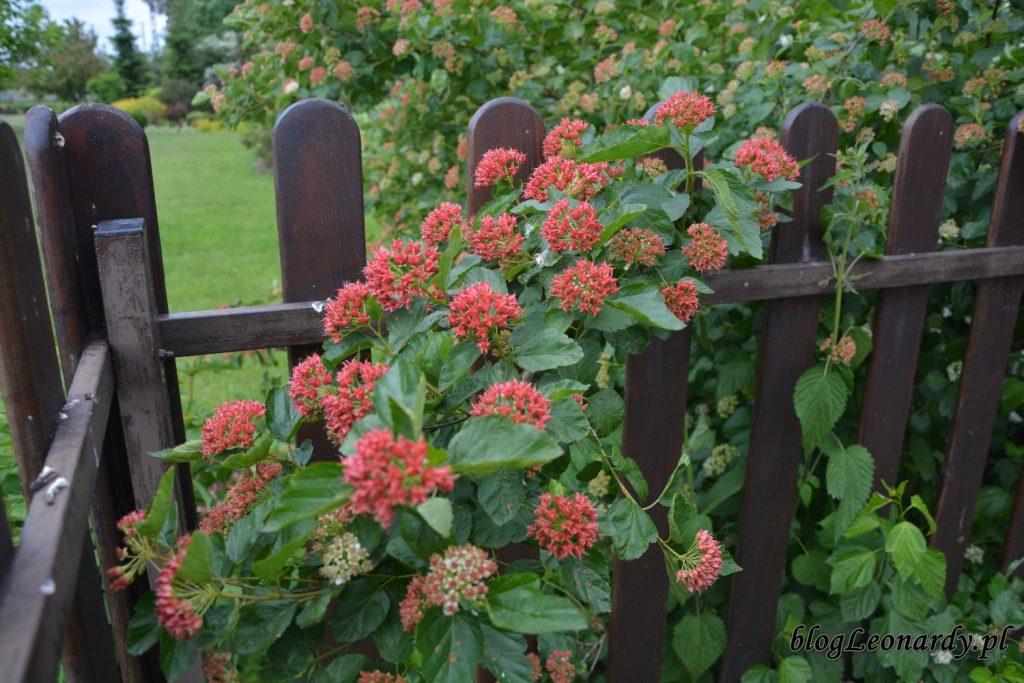 lato w ogrodzie - pęcherznica