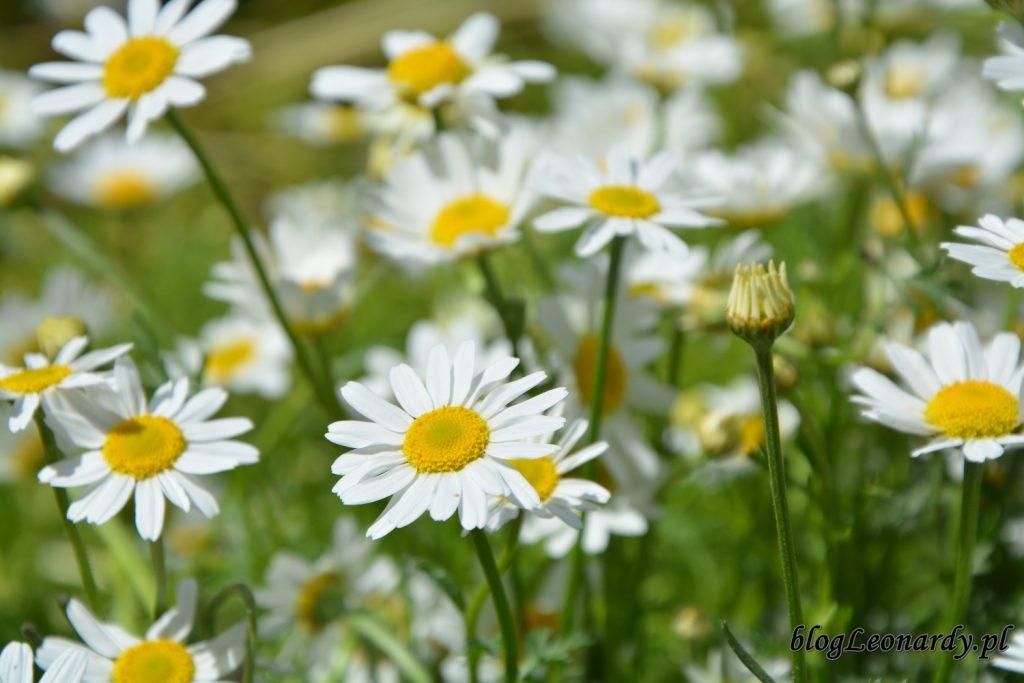 lato w ogrodzie - rumianki