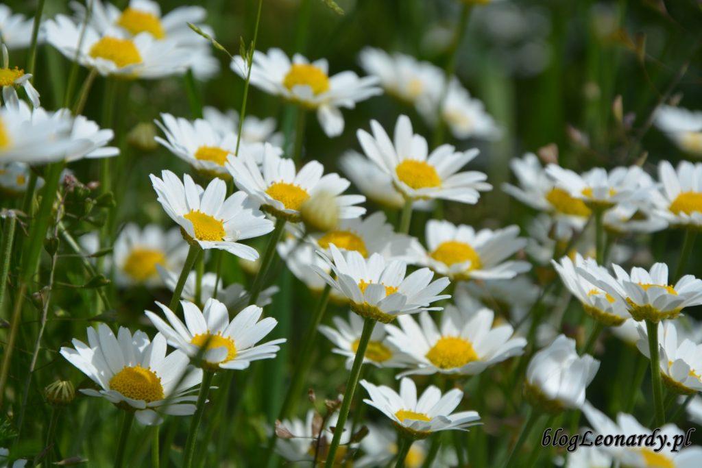 lato w ogrodzie - rumianki (2)