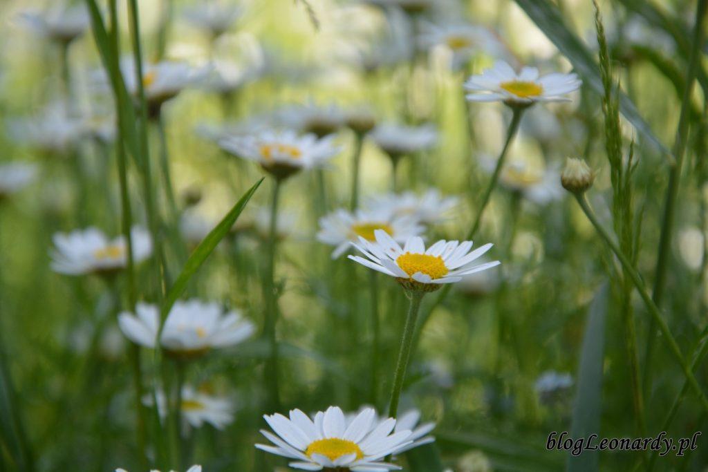 lato w ogrodzie - rumianki (3)