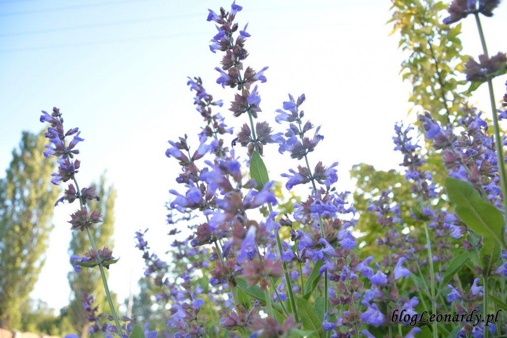 lato w ogrodzie - szałwia