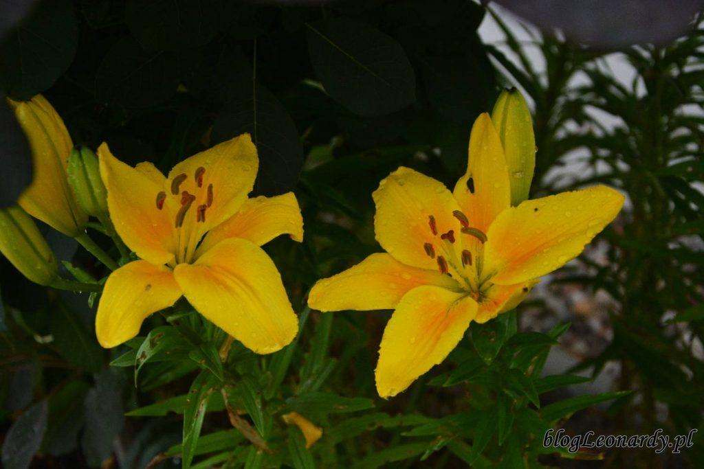 czerwcowe rośliny - lilie