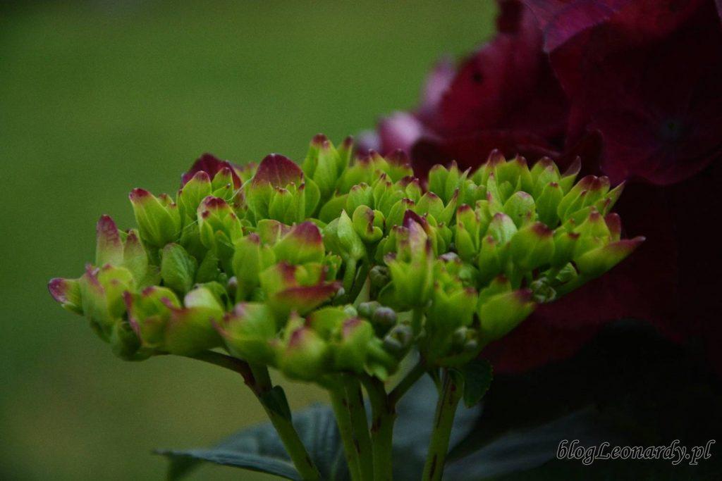 pąk hortensja