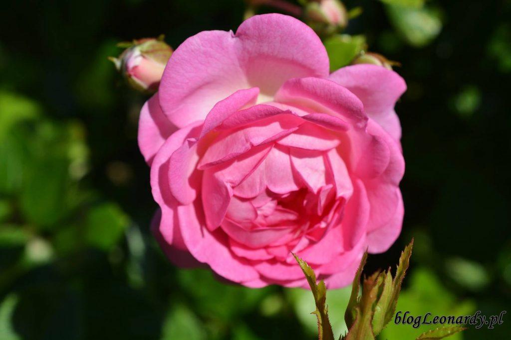 róże -Jasmina kwiat