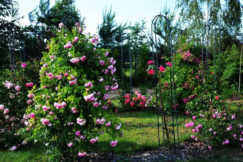 róże -altanka różana